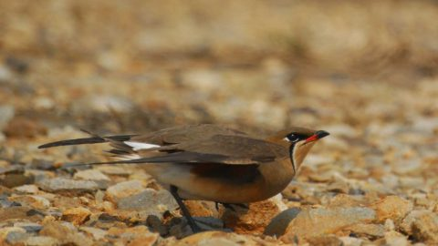 An Orientla Pratincole about to take flight off of rocky ground