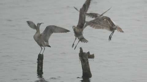 Three Whimbrels roosting on posts in the water
