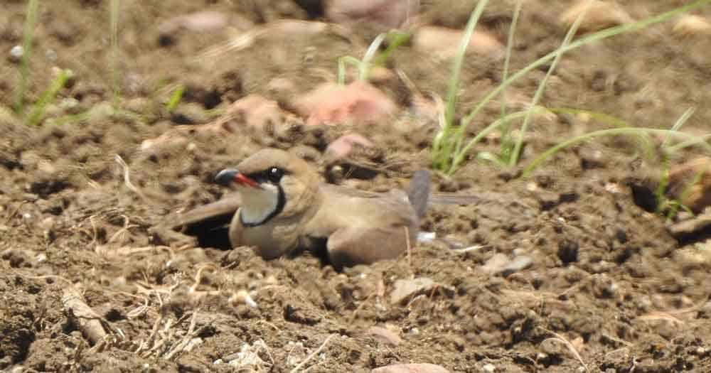 Oriental Pratincole performing a broken wing display to distract predators away from a nest