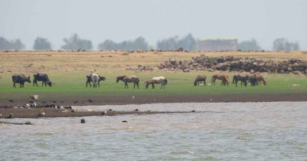 Feral cattle and horses on the banks of a river