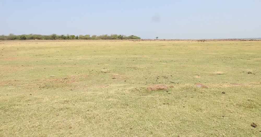 A green field where Oriental Pratincoles like to nest