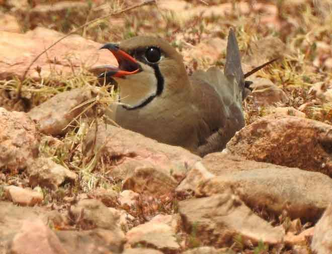 An Oriental Pratincole nesting on dry rocky ground