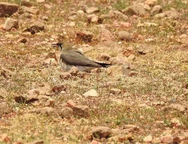 Oriental Pratincole incubating eggs on dry rocky ground