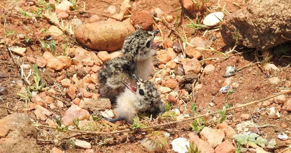 Two Oriental Pratincole chicks in a nest on rocky ground calling for their parents