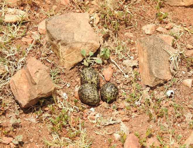 An Oriental Pratincole nest on dry rocky ground with three eggs