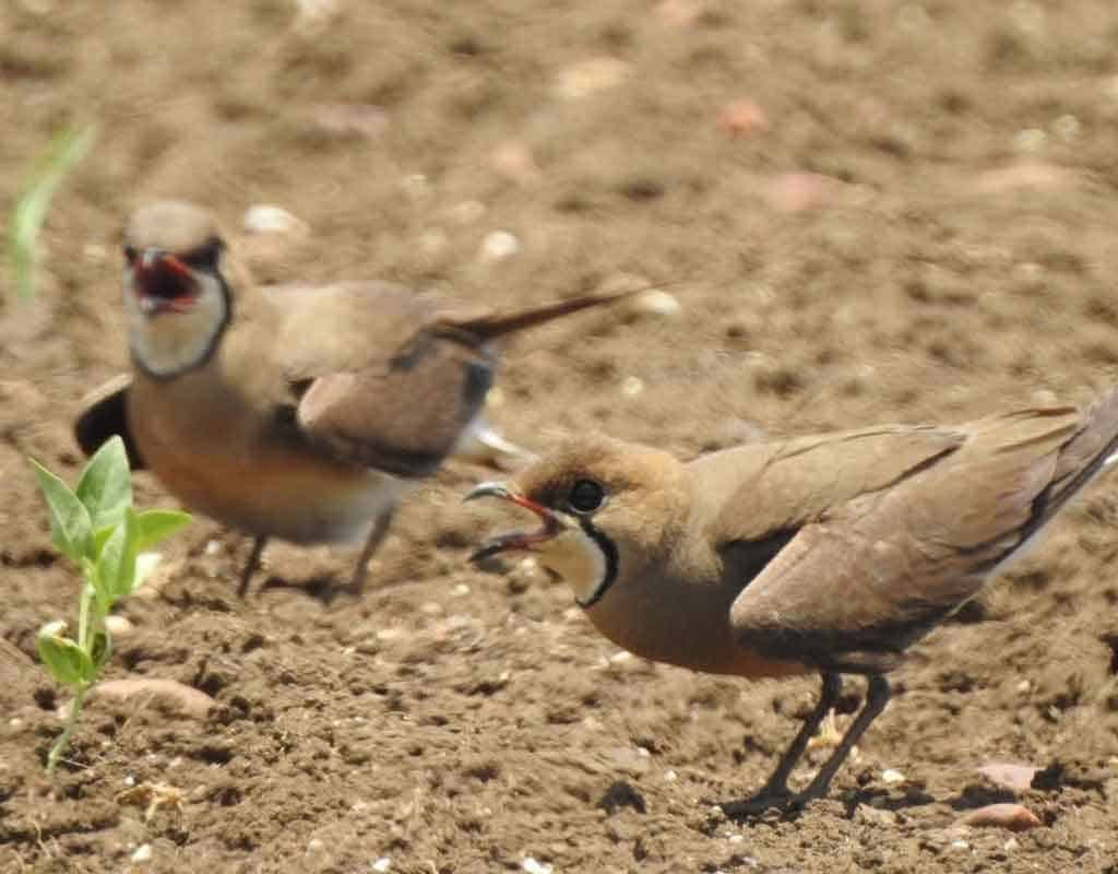 Two Oriental Pratincoles performing a broken wing display on dry gravelly ground in India