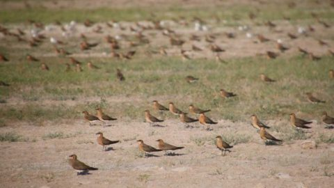 A flock of Oriental Pratincoles on the plains
