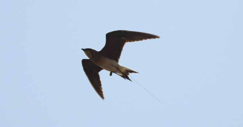 Oriental pratincole SEP spotted in flight in India