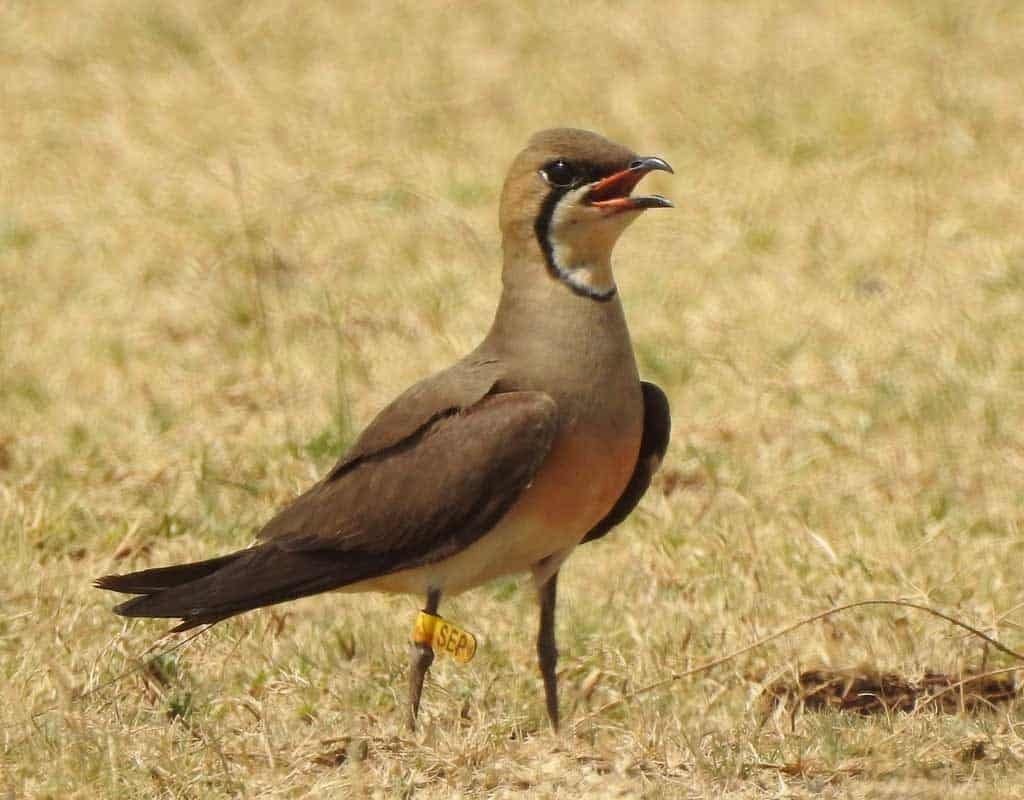 Oriental Pratincole SEP in India