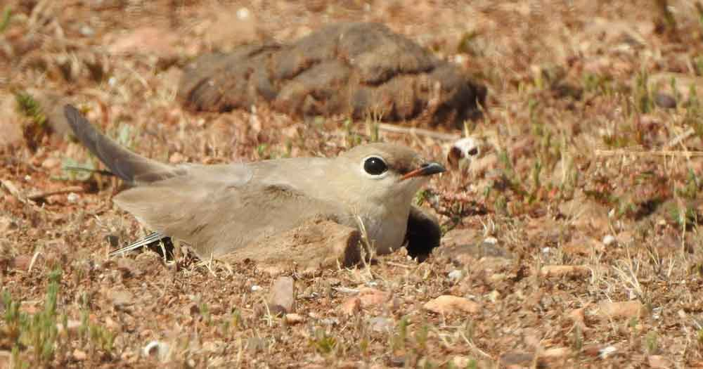 A Small Pratincole nesting on dry rocky ground