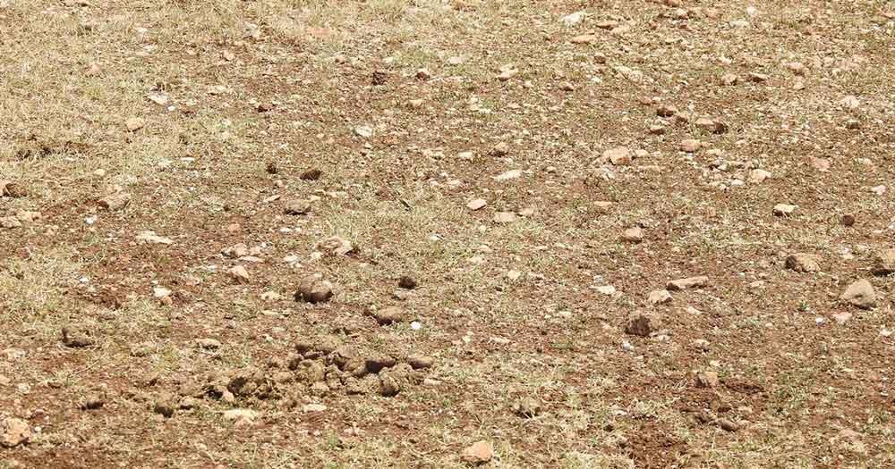 Rocky ground where Oriental Pratincoles like to nest