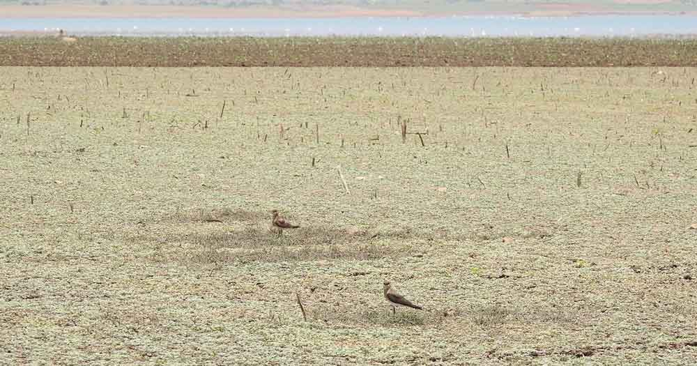 Weed-covered fallow field in India with Oriental Pratincoles