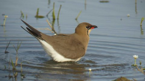 An Oriental Pratincole bathing in shallow water