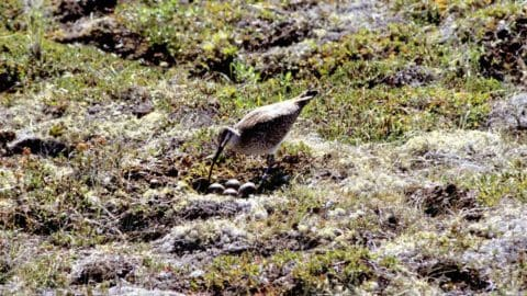 A whimbrel tending to eggs in a nest on the ground made among rocks and moss