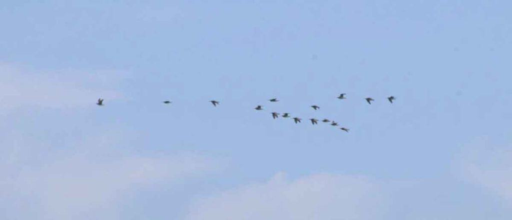 A flock of Whimbrels flying in the distance