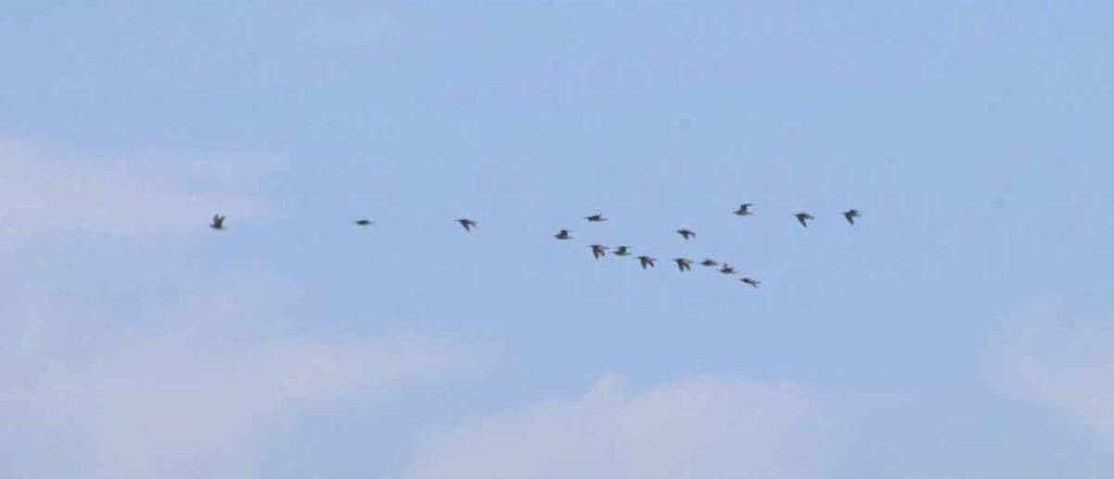 Whimbrel flock