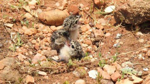Oriental Pratincole chicks