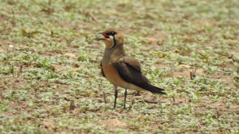 Oriental Pratincole standing on the ground, calling