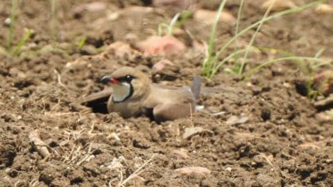 Oriental Pratincole broken wing display