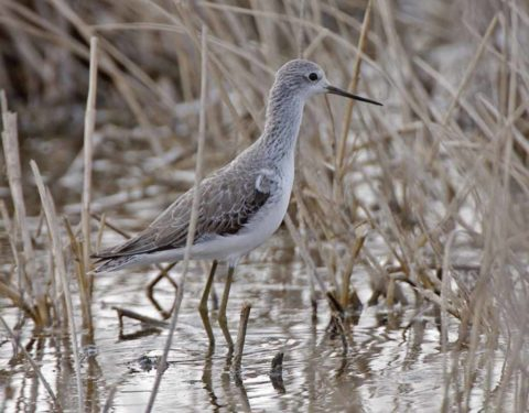 A Marsh Sandpiper standing amongst brown reeds in shallow water