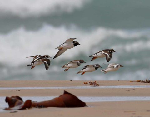 Side view of a flock of Ruddy Turnstones in flight over the beach