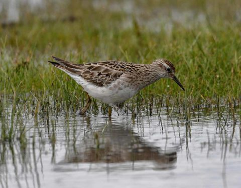 A Sharp-tailed Sandpiper feeding in shallow reeds
