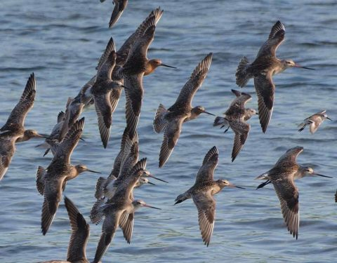 A flock of Bar-tailed Godwits in flight over water