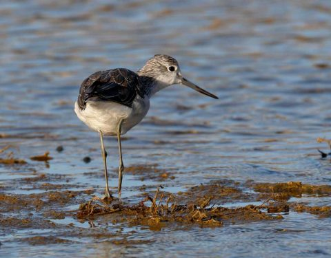 Rear view of a Common Greenshank standing in shallow water