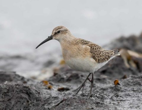 A Curlew Sandpiper walking across a mudflat