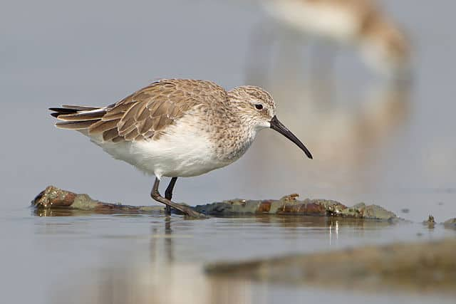 A Curlew sandpiper feeding in shallow water