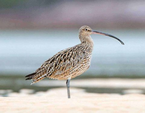 A Far Eastern Curlew standing on the beach