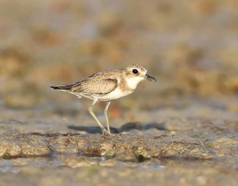 A Greater Sand Plover on the beach