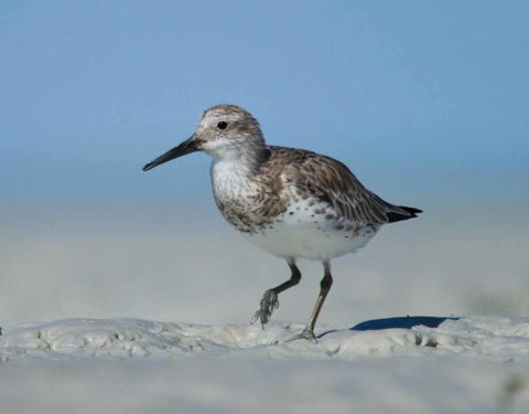 A Great Knot standing on a mudflat