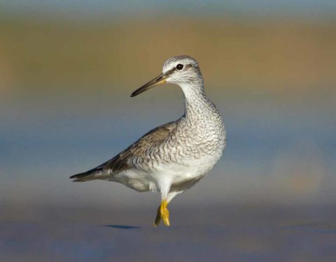A Grey-atiled Tattler in partial breeding plumage standing in the mud