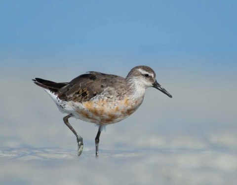 A Red Knot in partial breeding plumage walking in on a mudflat