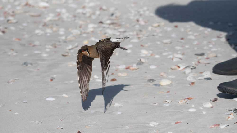 Oriental Pratincole flying low over the sand of the beach after being release with a satellite tag by researchers