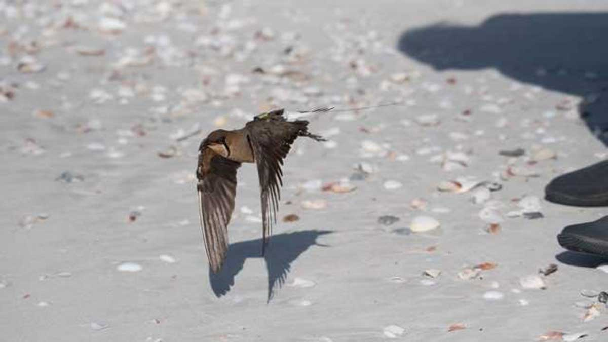 Oriental Pratincole being released at Anna Plains Station, WA.