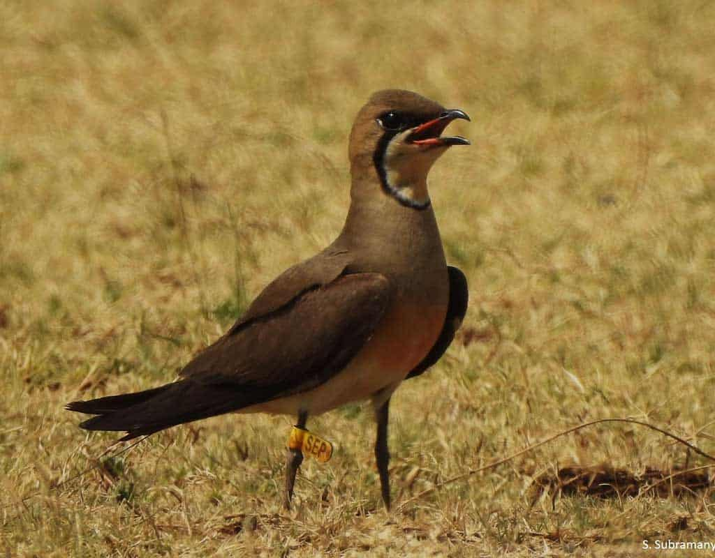 Close up of tagged Oriental Pratincole, SEP, in India
