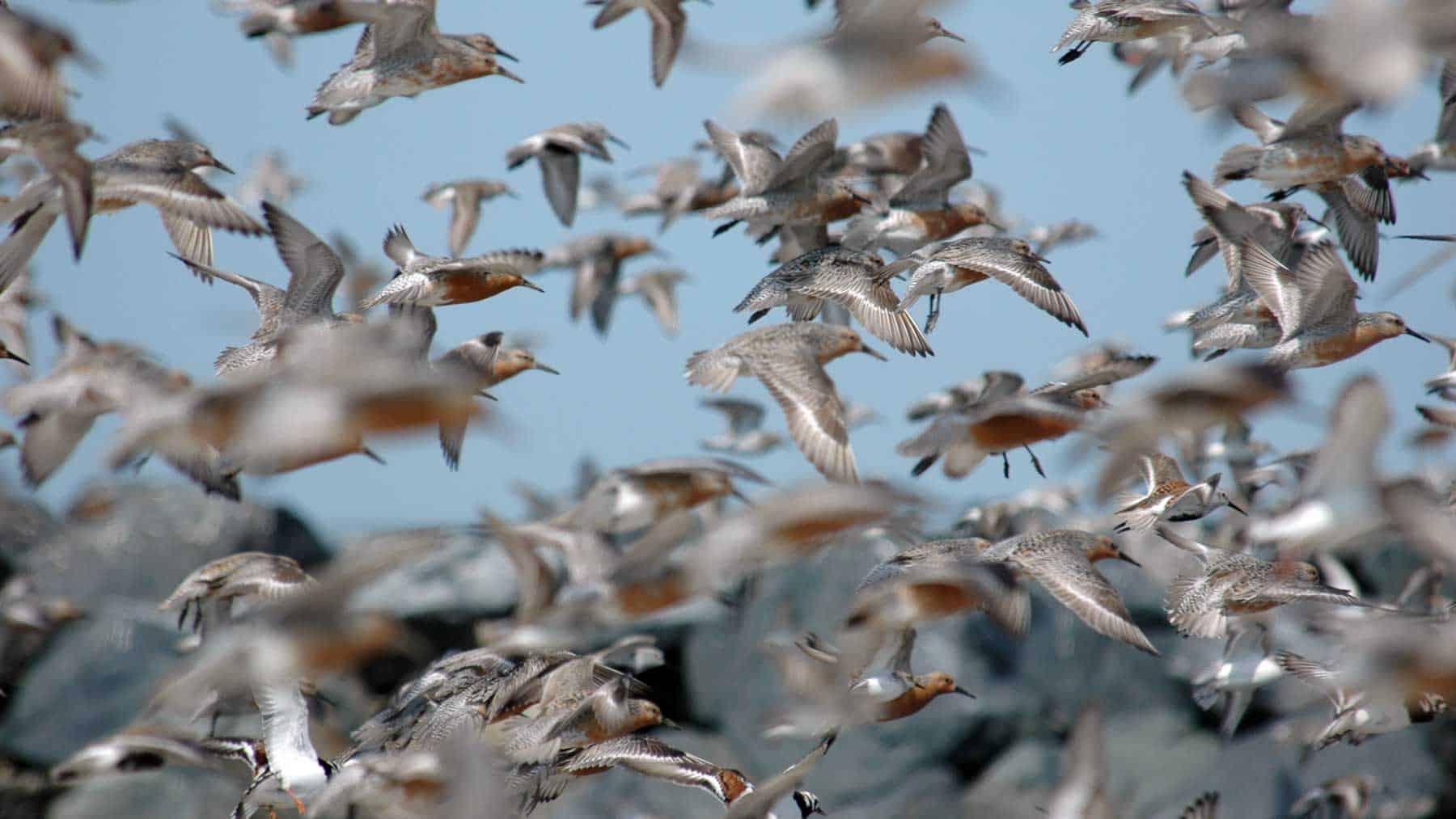 Flock of Red Knots in flight