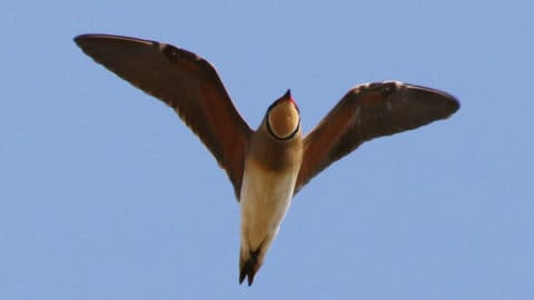 Photo from underneath of an Oriental Pratincole in flight