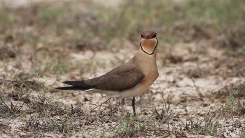 Oriental Pratincole standing on the ground