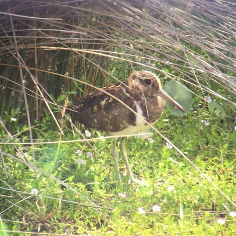 A Painted Snipe standing under reeds in the sunlight