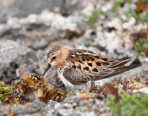 A male Red-necked Stint tending to three chicks