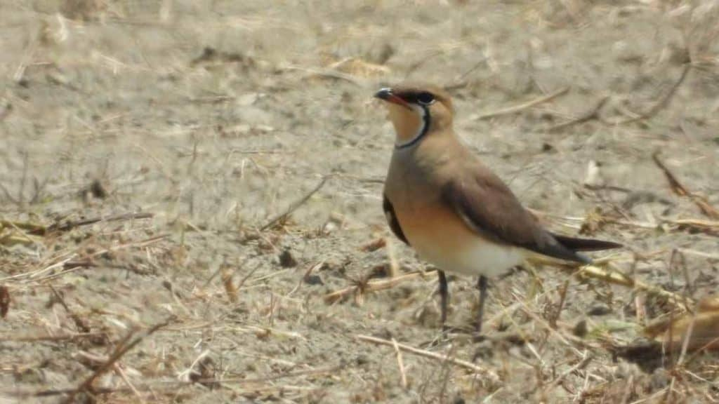 An Oriental Pratincole standing in a harvested sugarcane field in Taiwan