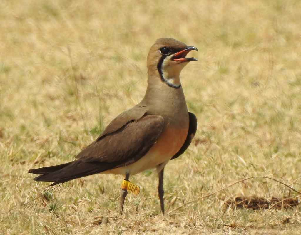 Tagged Oriental Pratincole, SEP, standing on the breeding grounds in Karnatka, India