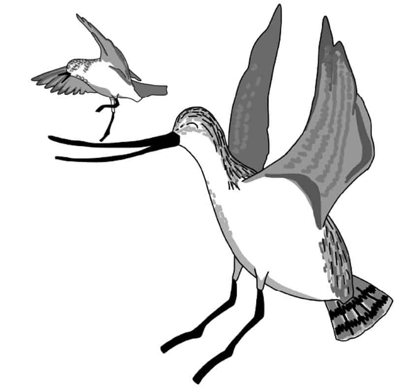 Cartoon Bar-tailed Godwit and Red-necked Stint jumping for joy