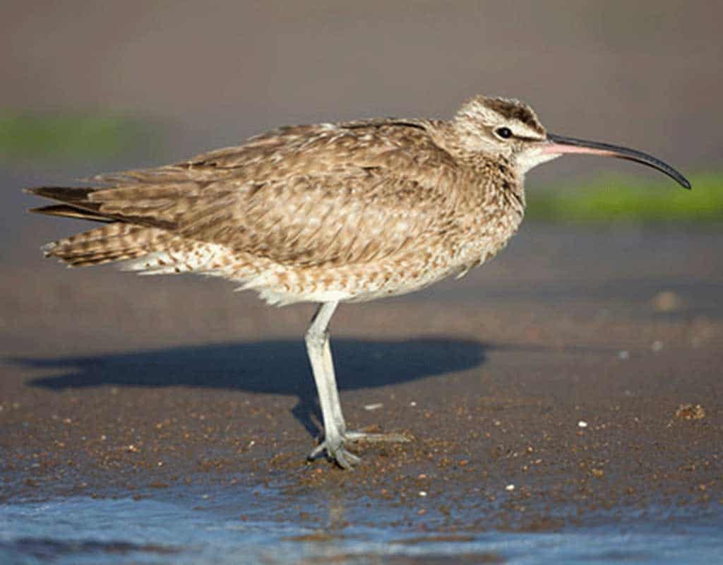 Whimbrel standing on the beach