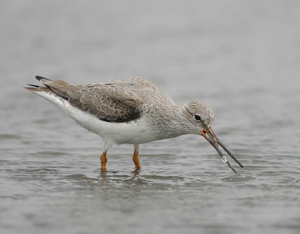 Terek Sandpiper eating a crab while standing in shallow water.