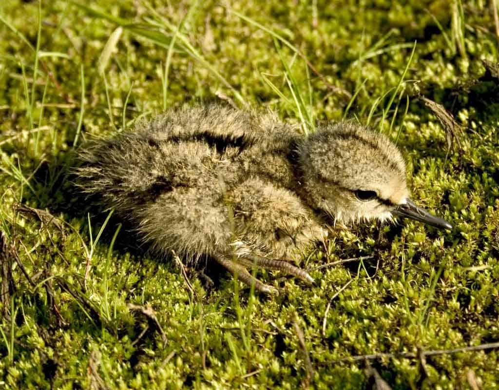 A Terek Sandpiper chick sitting on mossy ground.