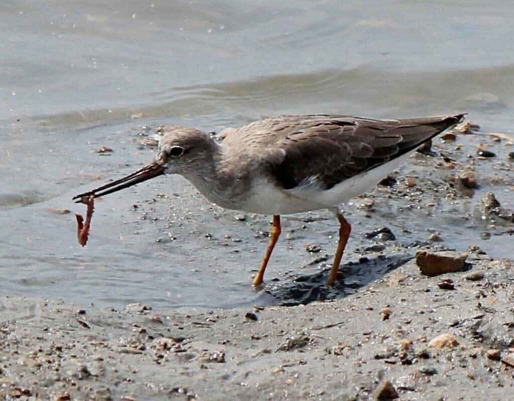 A Terek Sandpiper eating a polychaete worm.